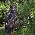 Juvenile Bald Eagle On Chesdin by Jemmy Archer
