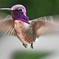 Juvenile Male Anna's In Flight by Jay Milo