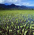 Kauai, Wet Taro Farm by Bob Abraham - Printscapes