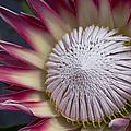King Protea - Protea Cynaroides - Maui Tropicals Hawaii by Sharon Mau
