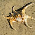 Lambis Arthritica Spider Conch by Frank Wilson