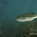 Largemouth Bass by Ted Kinsman