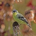 Lesser Goldfinch by Gary Wing