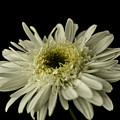 Leucanthemum Highland White Dream by Steve Purnell