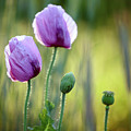 Lilac Poppy Flowers by Nailia Schwarz