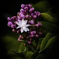 Lilacs by Ken Marsh