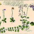Linnaea Borealis, Linnaeuss Favorite by Science Source