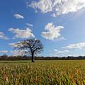 Lone Oak Tree In English Countryside by Julia Gavin