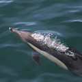 Long-beaked Common Dolphins In Monterey Bay 2015 by California Views Archives Mr Pat Hathaway Archives
