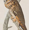 Long-eared Owl by John James Audubon
