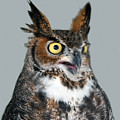 Great Horned Owl by Philip Ralley