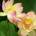 Lotus Blossom by Michelle Choi