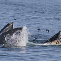 Lunge-feeding Humpback Whales by California Views Archives Mr Pat Hathaway Archives