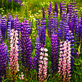 Lupin Flowers In Newfoundland by Elena Elisseeva