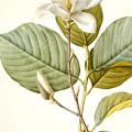 Magnolia by Pierre Joseph Redoute