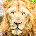 Majestic Lion by Jijo George
