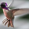 Male Anna's In Flight by Jay Milo