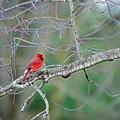 Male Cardinal by David Arment