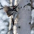 Male Hairy Woodpecker by Dee Carpenter