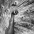 Male Indian Peacock-bw by Joye Ardyn Durham