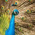 Male Indian Peacock by Joye Ardyn Durham