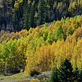 Million Dollar Highway Aspens by Ray Mathis