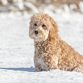 Mini Golden Doodle  by Marcello Sgarlato