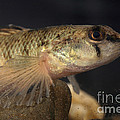 Mobile Logperch Percina Kathae by Ted Kinsman
