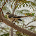 Mockingbird by Robert Bales