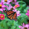 Monarch Butterfly by Jill Lang