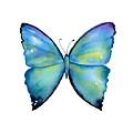 2 Morpho Aega Butterfly by Amy Kirkpatrick