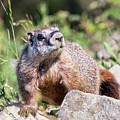 Mr. Marmot by Carolyn Fox