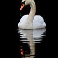 Mute Swan by Gavin Macrae