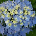 My Blue Hydrangeas by Maxine Billings