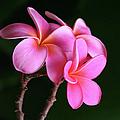 Na Lei Pua Melia Aloha He Ala Nei E Puia Mai Nei Pink Plumeria by Sharon Mau