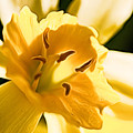 10553 Narcissus Superstar - Flower 080  by Colin Hunt