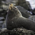 New Zealand Fur Seal by Levana Sietses
