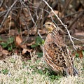 Northern Bobwhite Quail by Jack R Brock