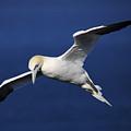 Northern Gannet In Flight by Maria Gaellman