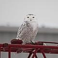 Snowy Owl 9470 by Joseph Marquis