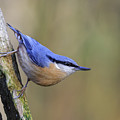 Nuthatch -- by Chris Smith