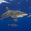Oceanic Whitetip Shark by Dave Fleetham - Printscapes