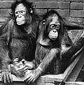 Orangutans by Granger