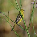 Orchard Oriole by Lindy Pollard