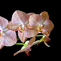Orchid Phalaenopsis Flower by Michalakis Ppalis