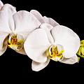 Orchid by Scott Pellegrin