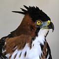 Ornate Hawk-eagle by Ed  Riche