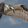 Osprey Flight by Larry Linton