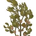 Pacific Mistletoe by Ted Kinsman