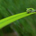 Pacific Tree Frog by Alasdair Turner